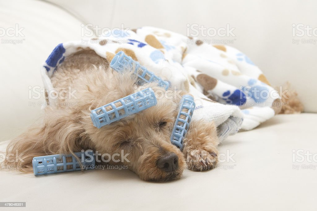 Dog Nap royalty-free stock photo