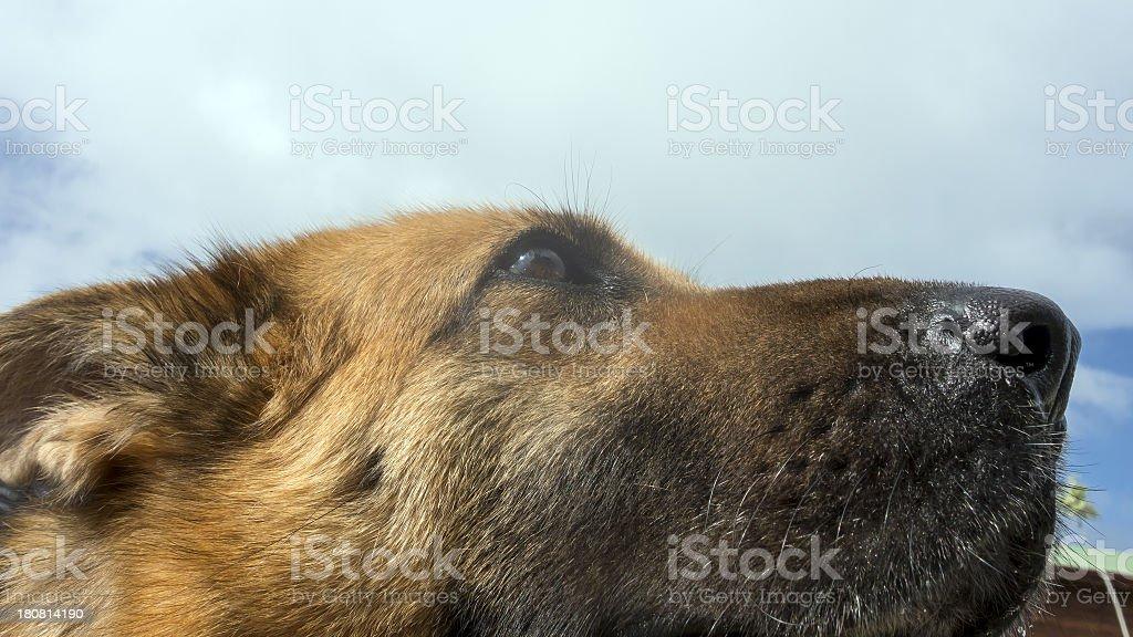 Dog nose royalty-free stock photo