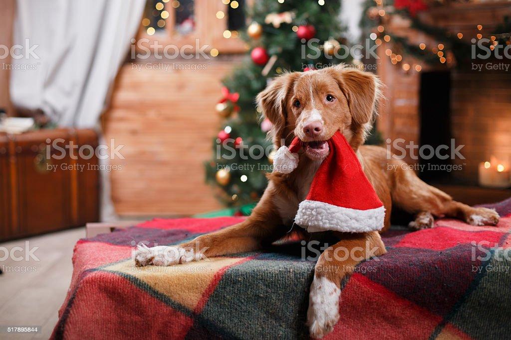 Dog Nova Scotia Duck Tolling Retriever holiday stock photo