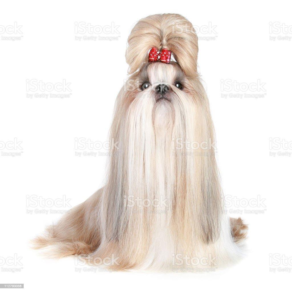 Dog of breed shih-tzu on white background stock photo
