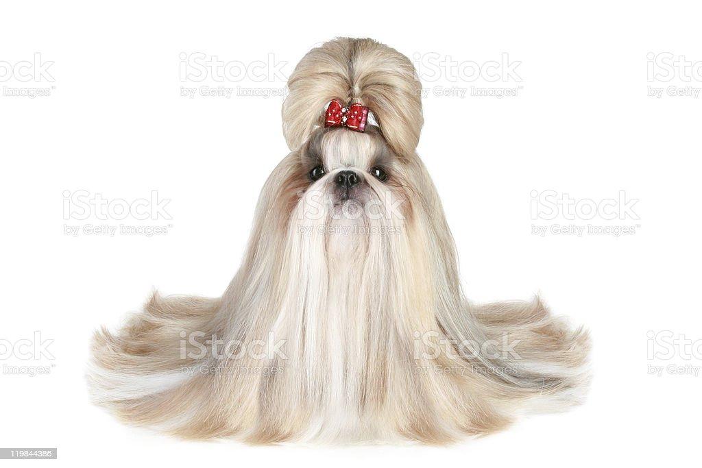 Dog of breed shih-tzu stock photo