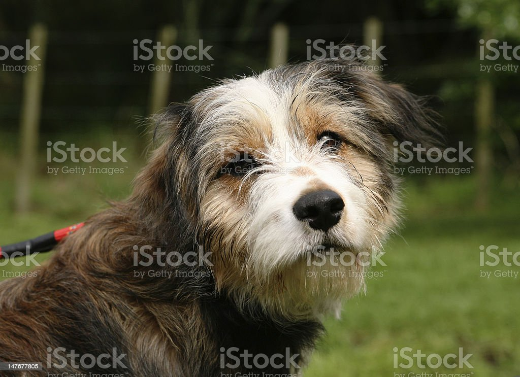 Dog on a lead royalty-free stock photo