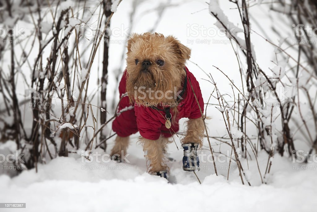 Dog on a winter walk stock photo