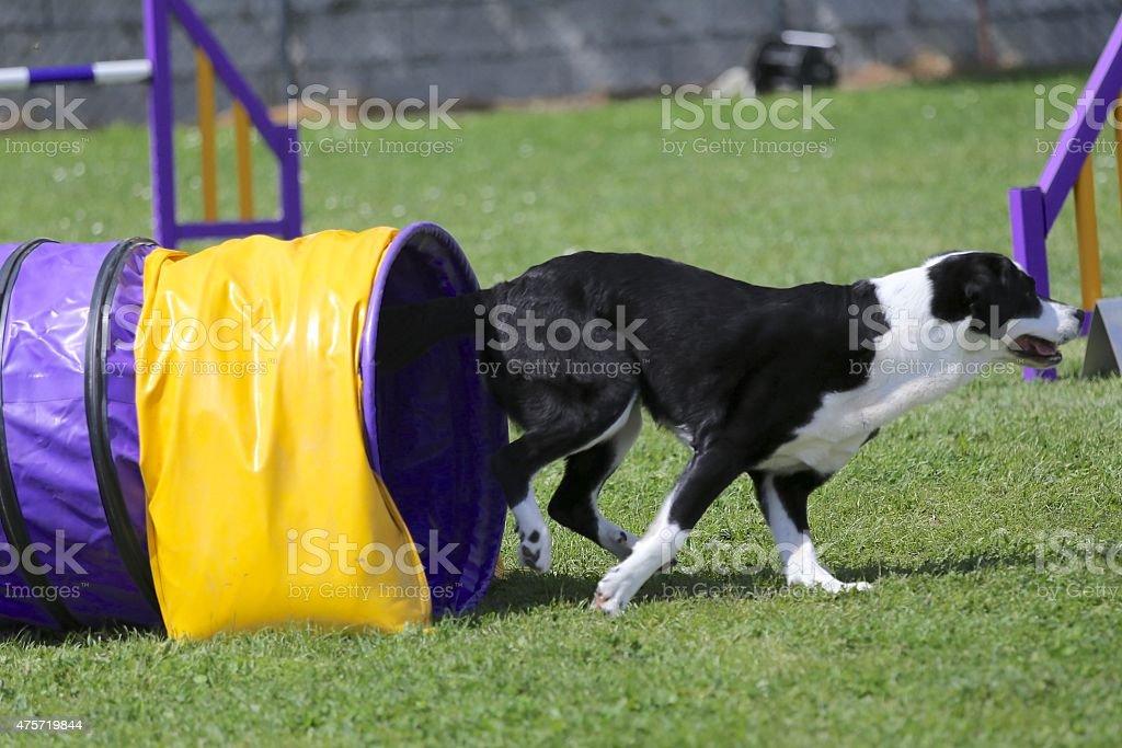 Dog on agility course stock photo