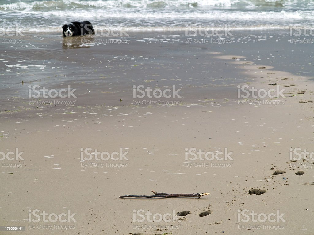 Dog on beach waiting for stick royalty-free stock photo