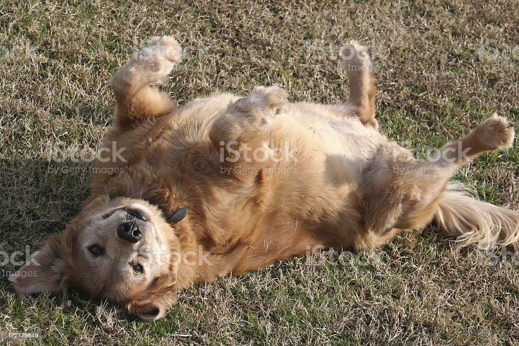 Dog on its back royalty-free stock photo