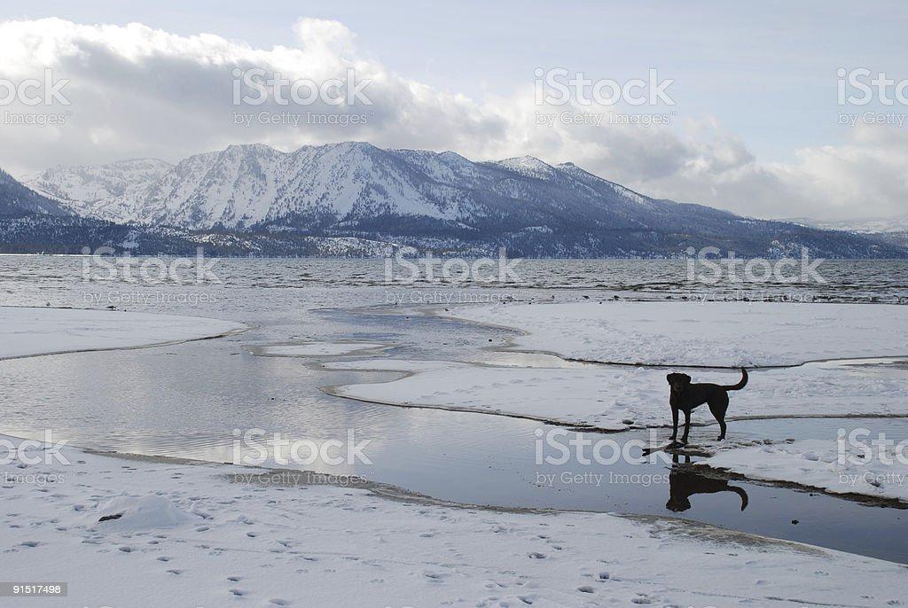 Dog on Lake Tahoe royalty-free stock photo