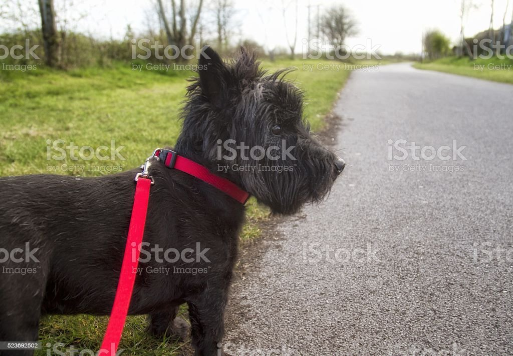 Dog on lead going for walk stock photo