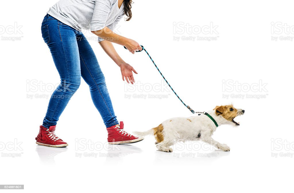 Dog on lead on walk with his owner stock photo