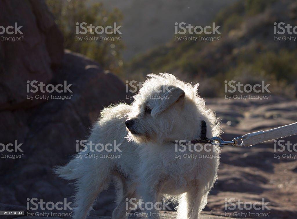 Dog on Leash stock photo