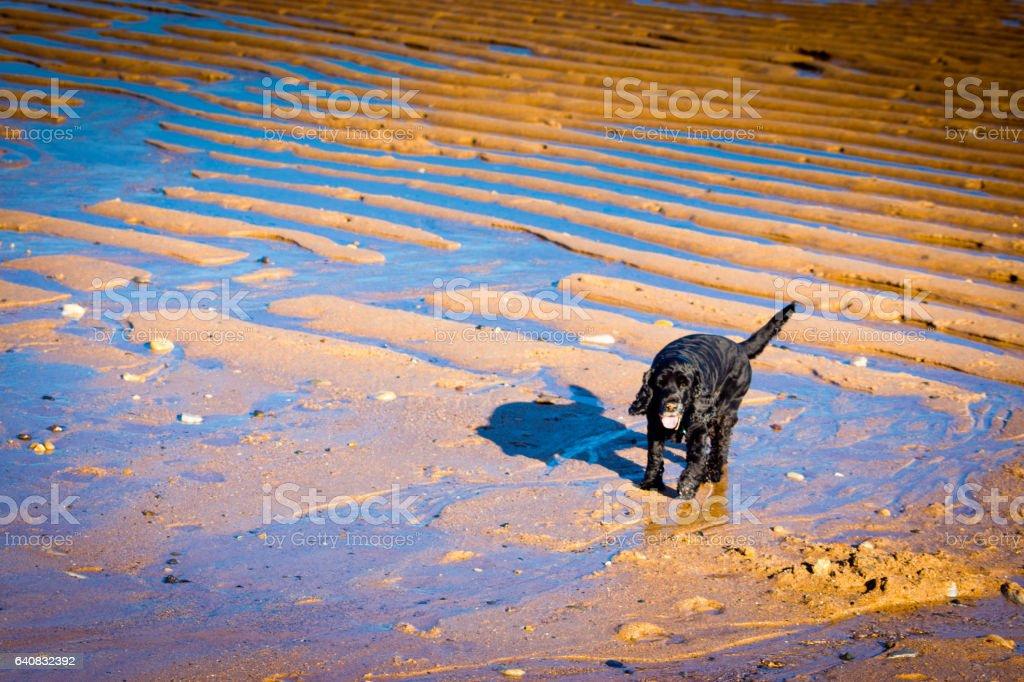 Dog on North East beach stock photo
