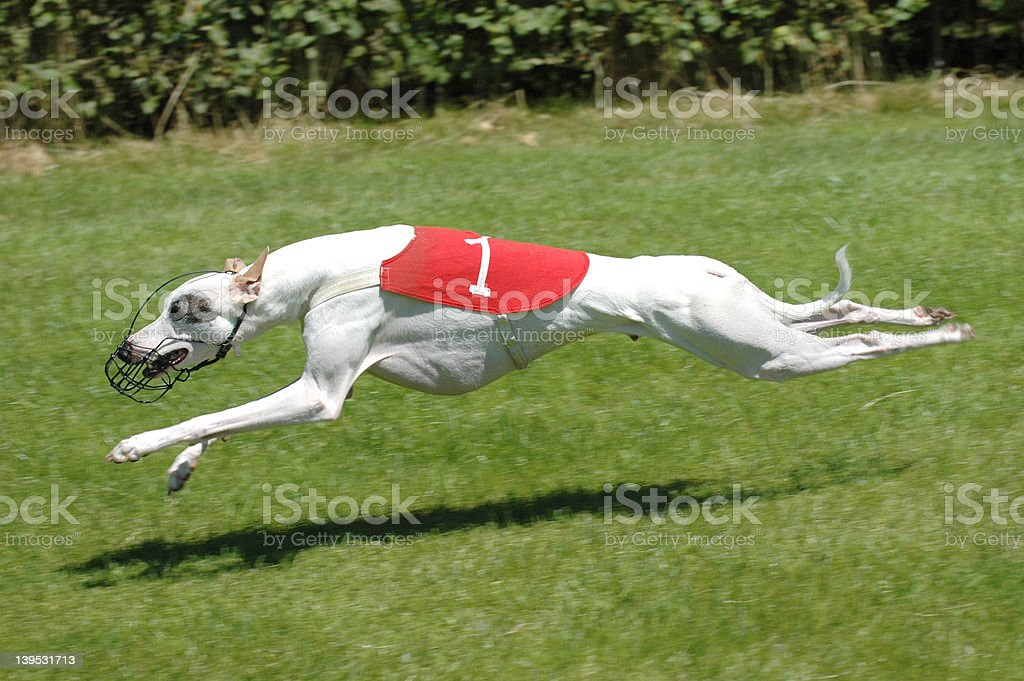 dog on racetrack royalty-free stock photo