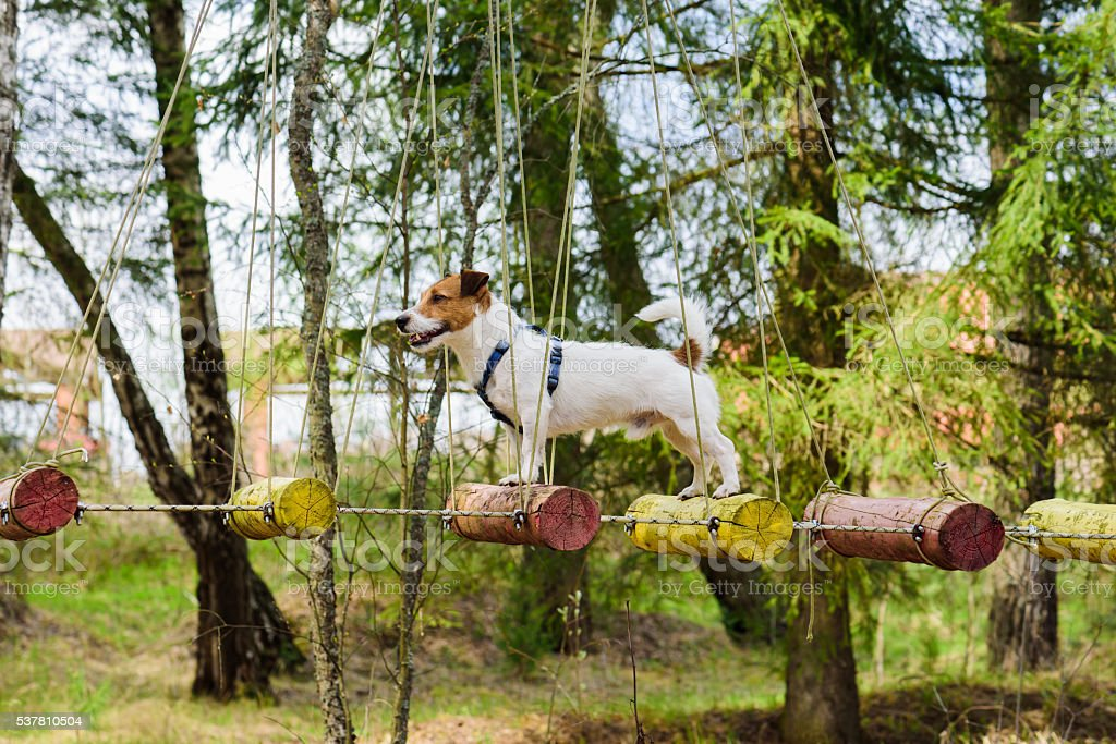 Dog on rope bridge for team building training activities stock photo