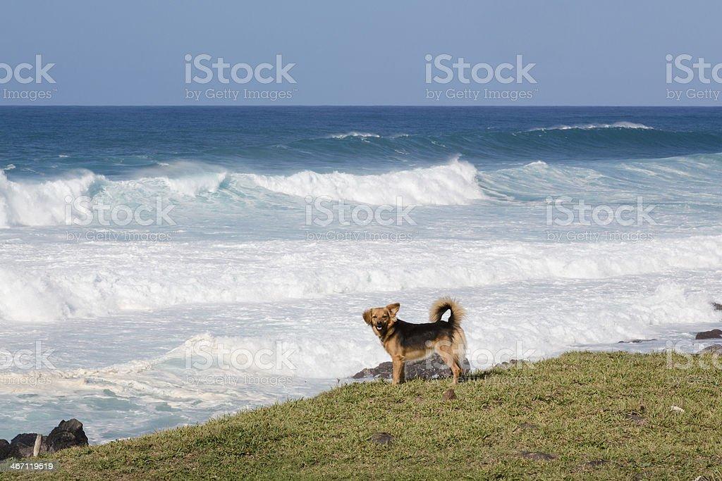 Dog on Shore, Beach, Giant Wave, Ocean, Hawaii royalty-free stock photo