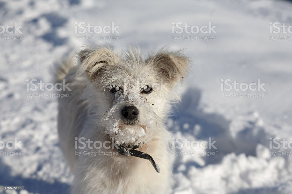 dog on snow royalty-free stock photo