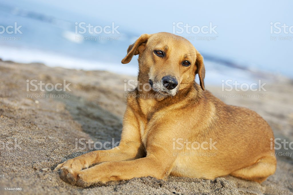 Dog on the beach royalty-free stock photo