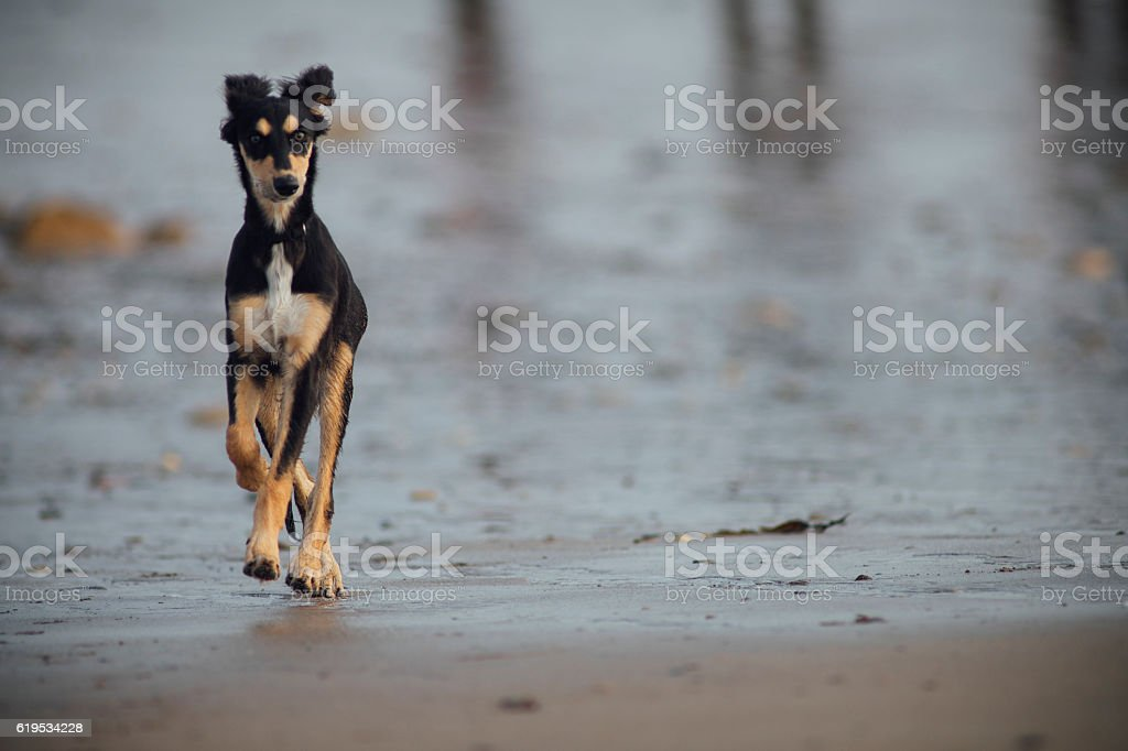 Dog on the Beach stock photo