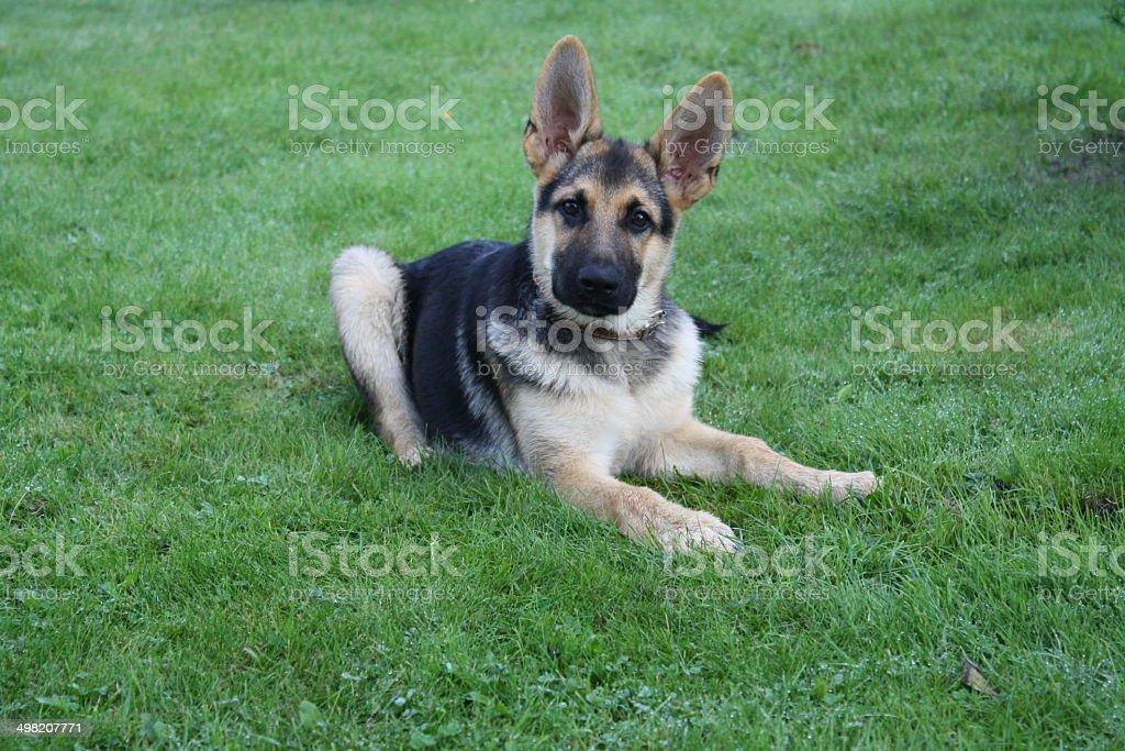 Hund auf dem Rasen Lizenzfreies stock-foto
