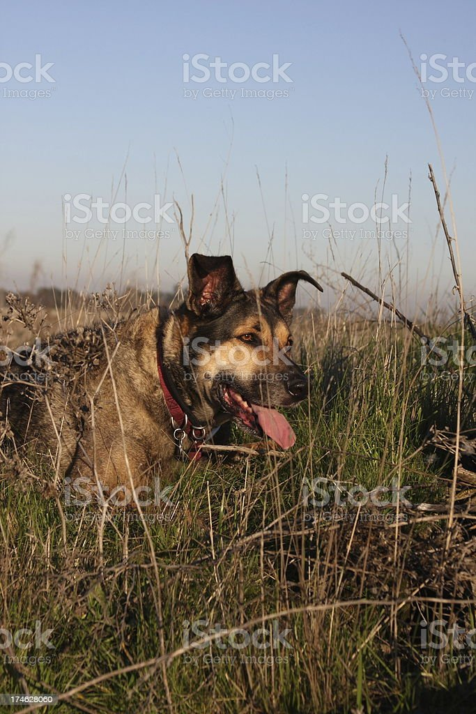Dog On the Hunt royalty-free stock photo