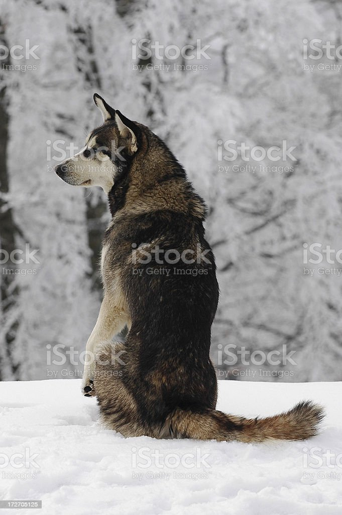 Dog on the snow royalty-free stock photo