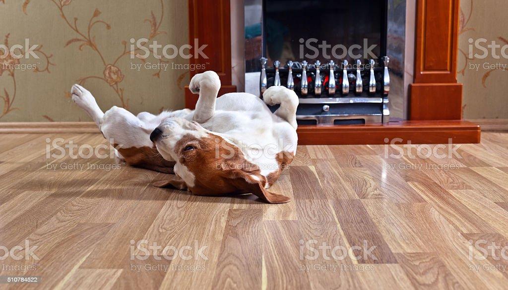 dog on wooden floor stock photo
