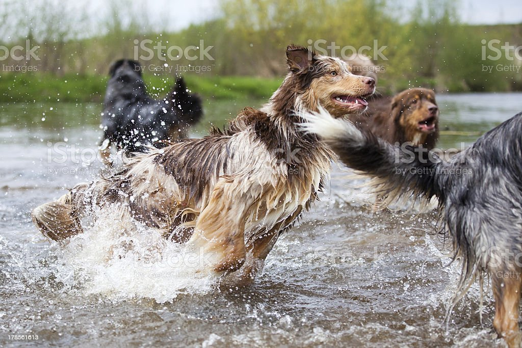 dog pack in the river royalty-free stock photo