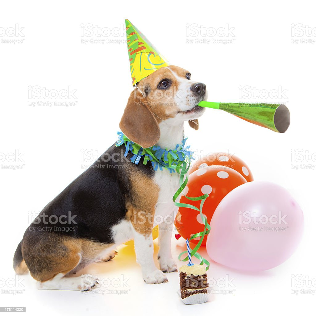 dog party animal stock photo