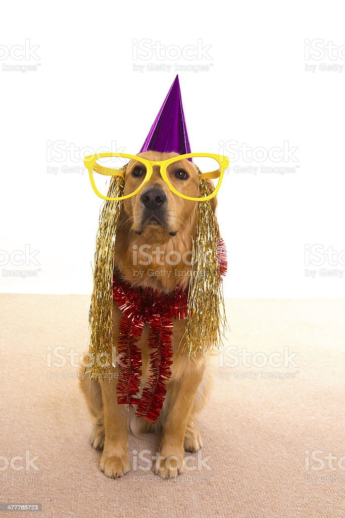 Dog party dressed  purple hat and glasses royalty-free stock photo