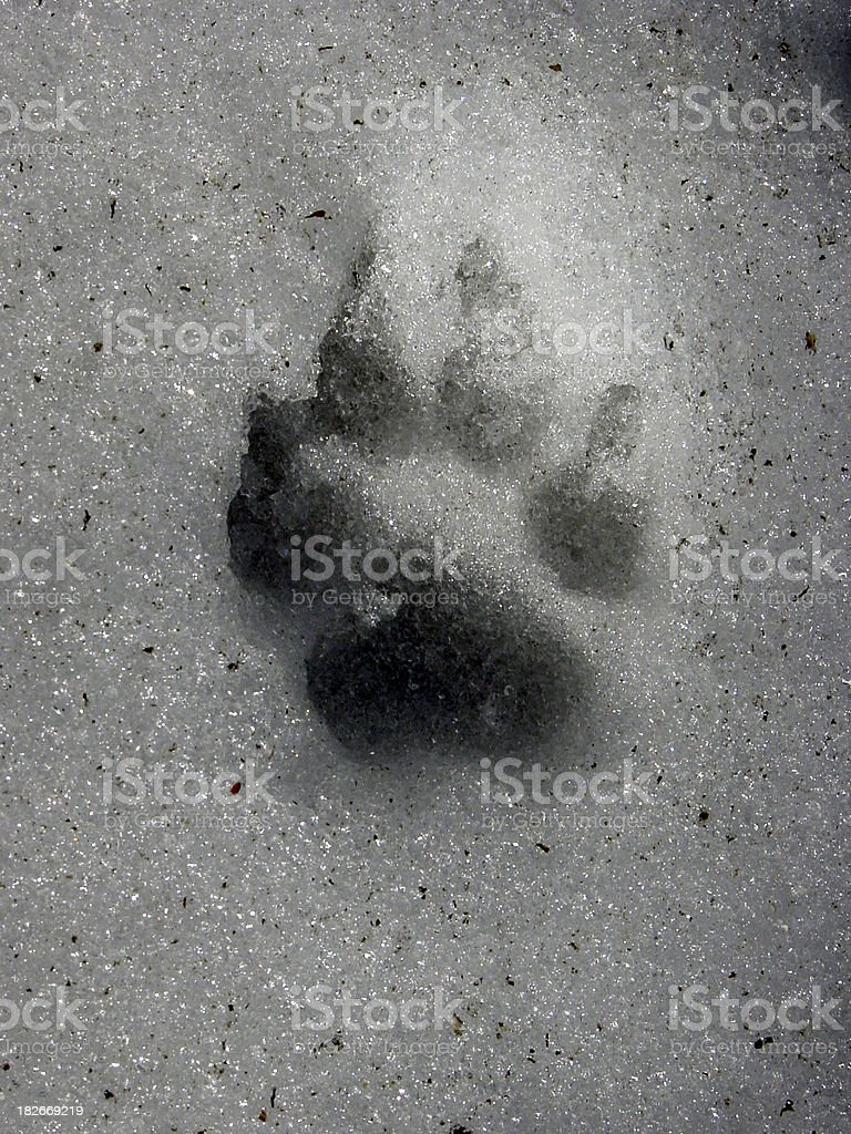 Dog Paw in Snow royalty-free stock photo