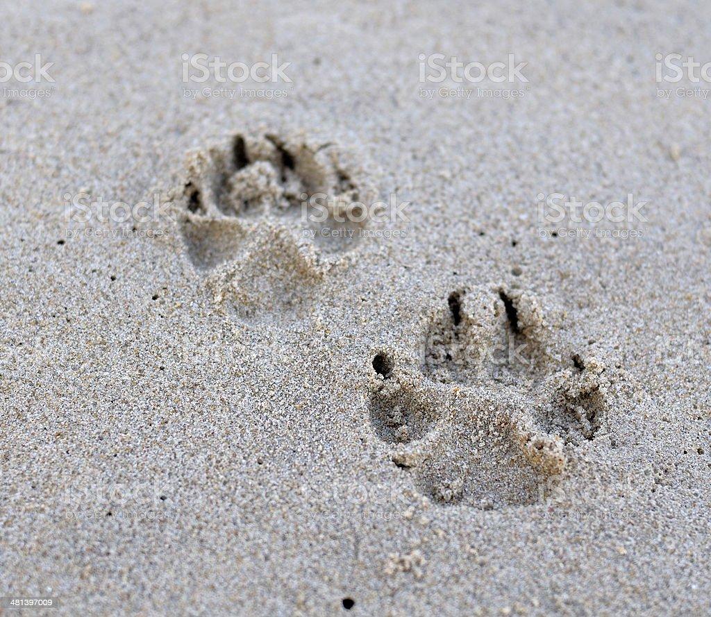 Dog paw on sand royalty-free stock photo