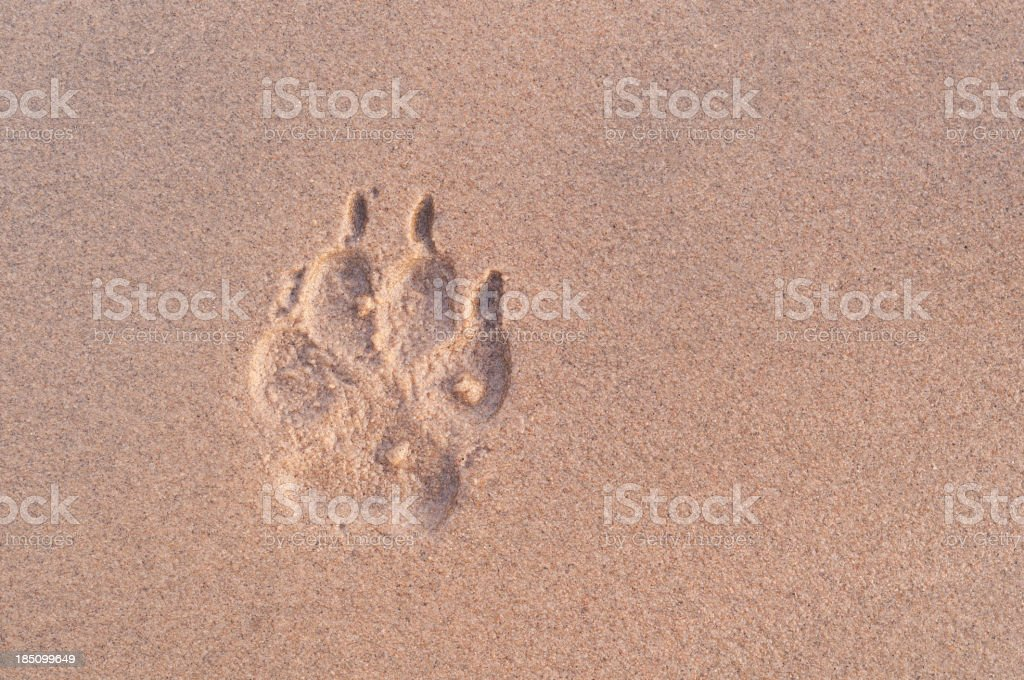 Dog paw print in sand at dusk royalty-free stock photo