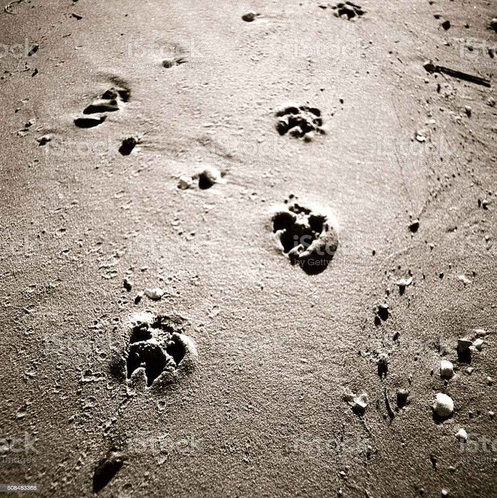 Dog Paw Prints in the Sand stock photo