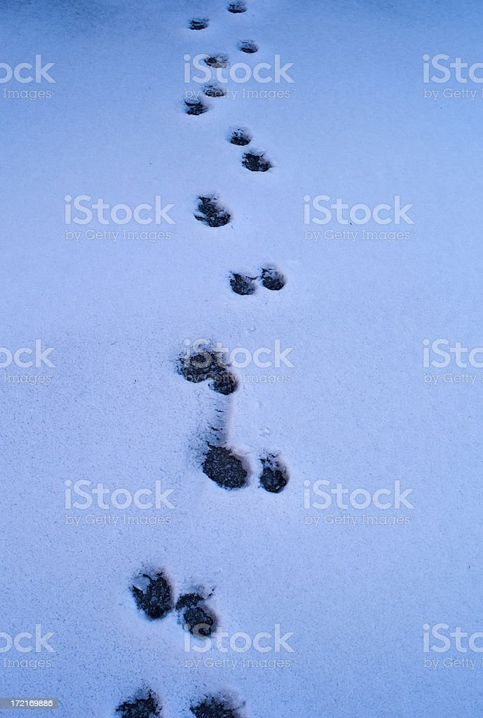 Dog paw prints in the snow royalty-free stock photo