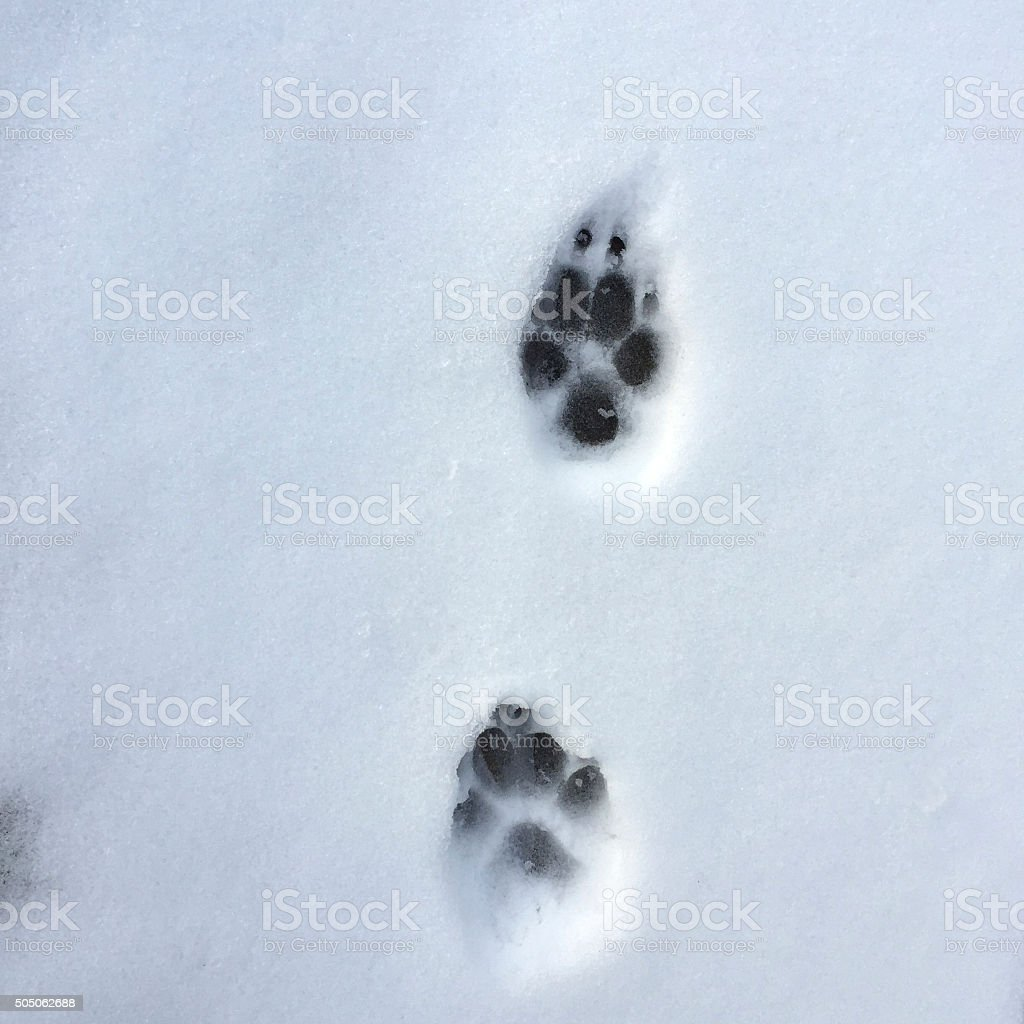 Dog Paw Prints in the Snow stock photo