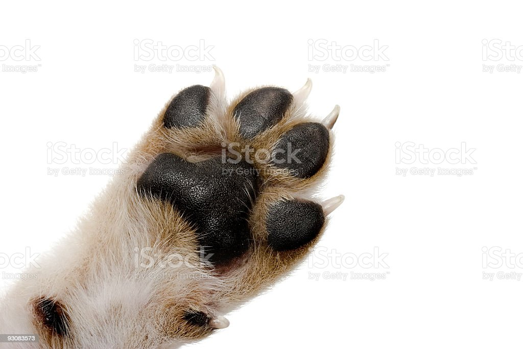 Dog paw with black pads on white background stock photo