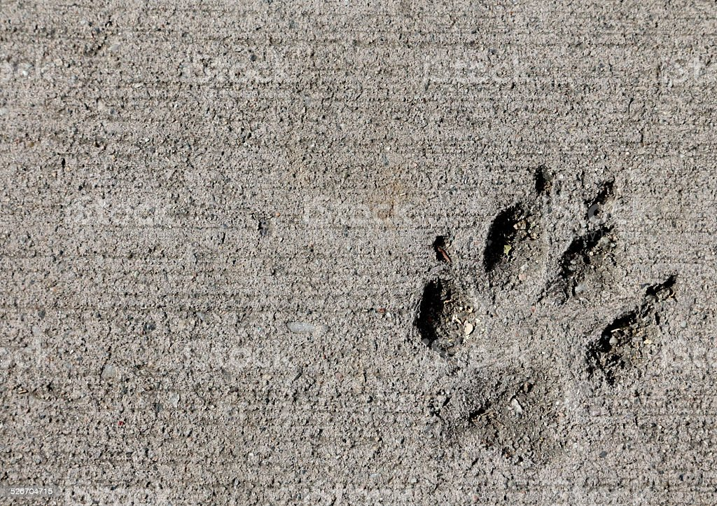 Dog pawprint impression in concrete stock photo