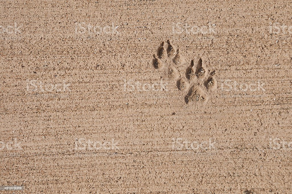 Dog Pawprints on pavement stock photo