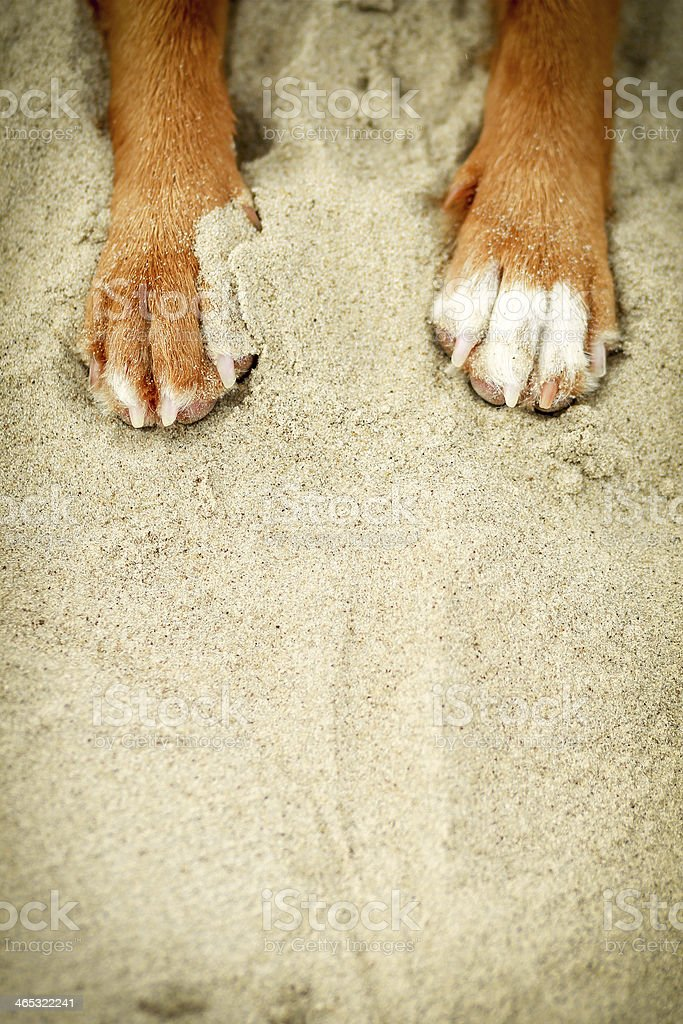 Dog paws in yellow sand stock photo