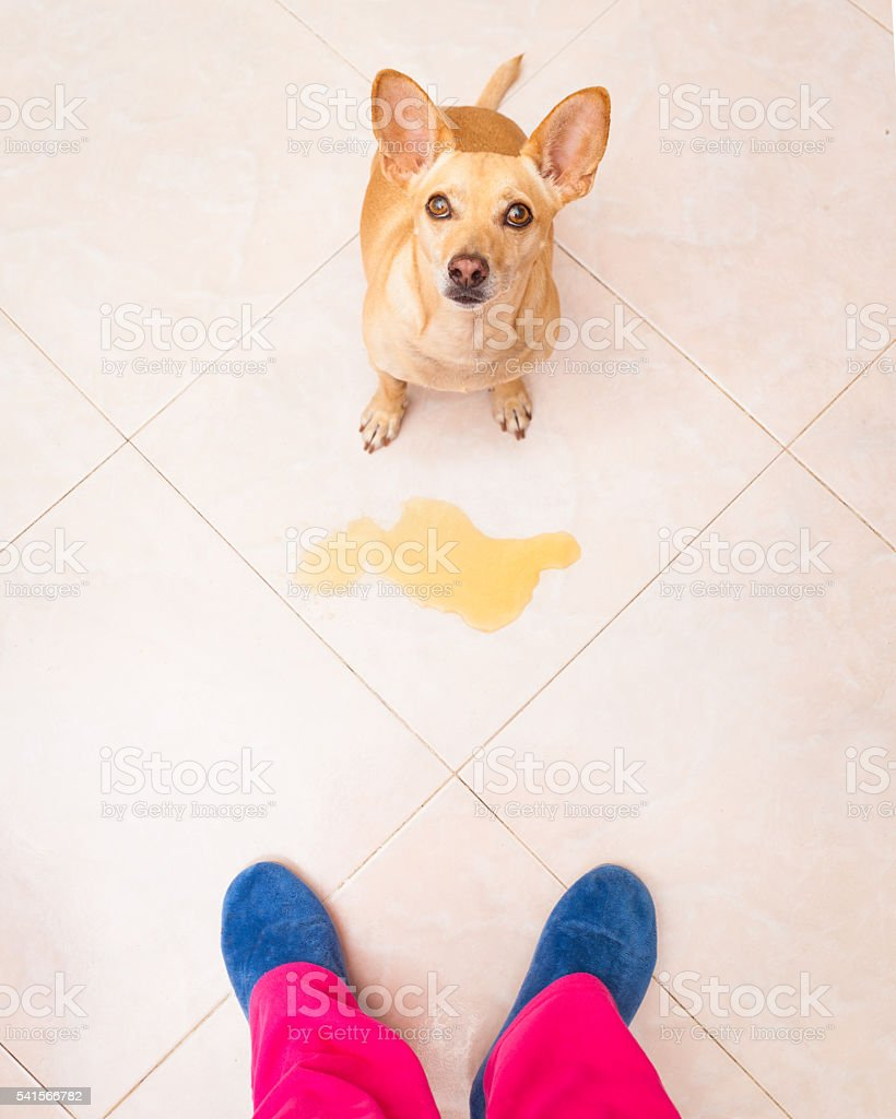 dog pee owner at home stock photo