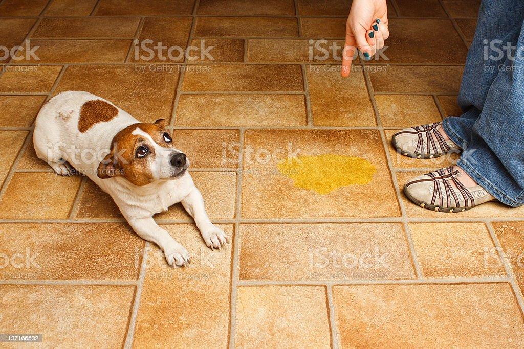Dog Pee Scold Lay royalty-free stock photo