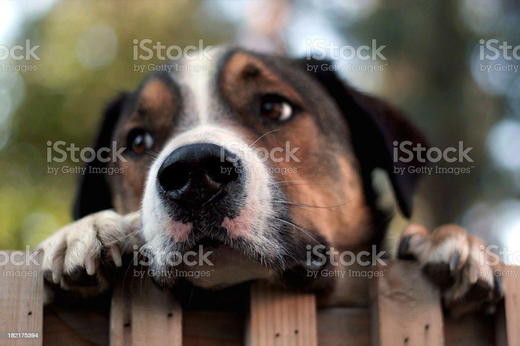 Dog Peering Over Fence stock photo