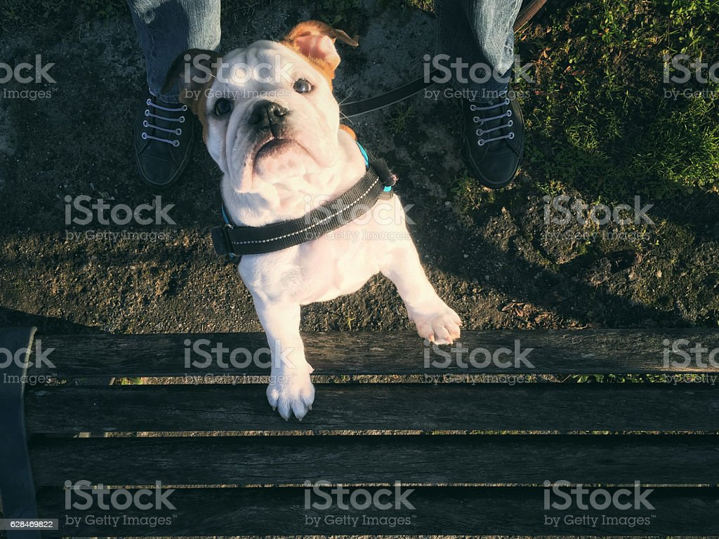 Dog peers helping herself onto a bench stock photo