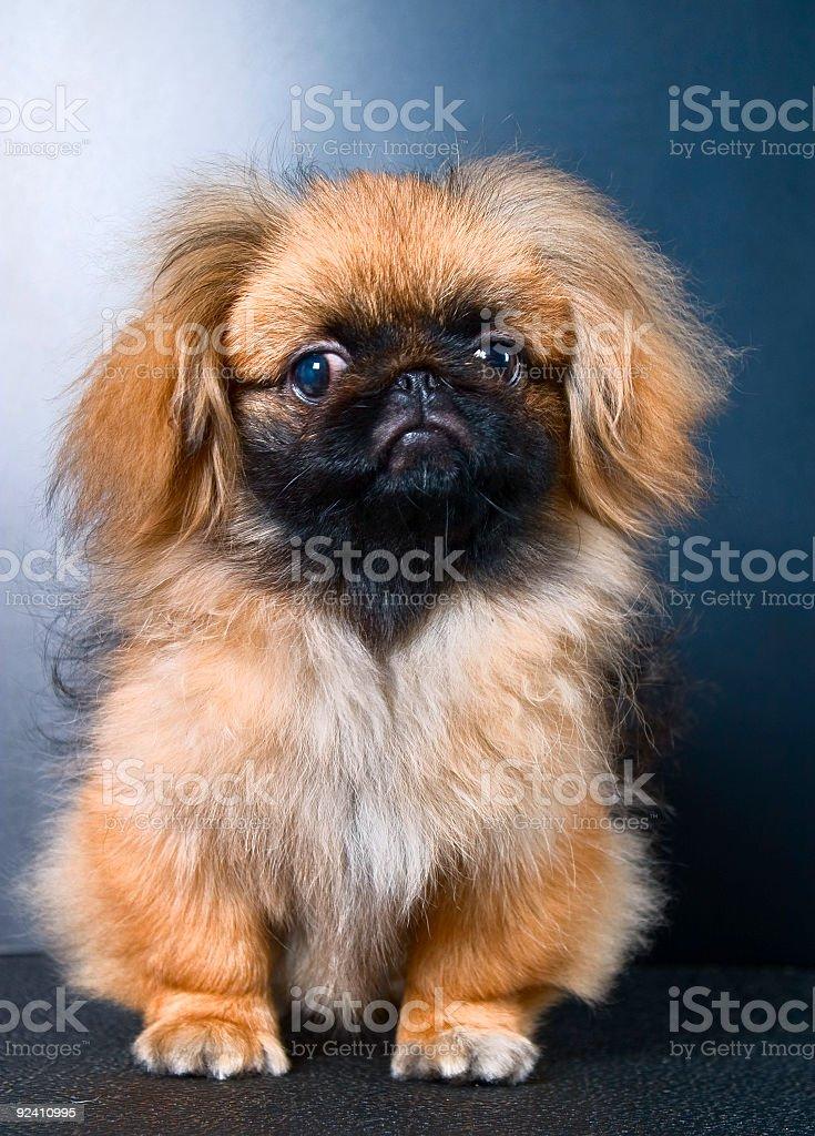 Dog Pekinese stock photo