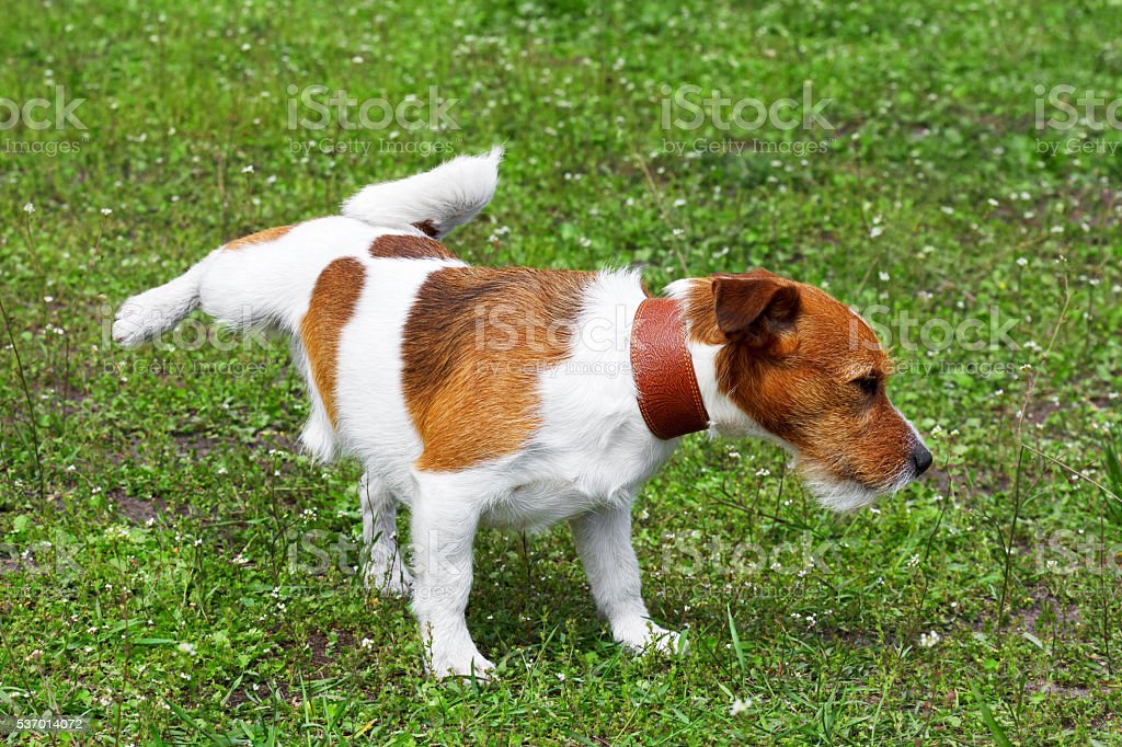 Dog pissing on a green grass in a park stock photo