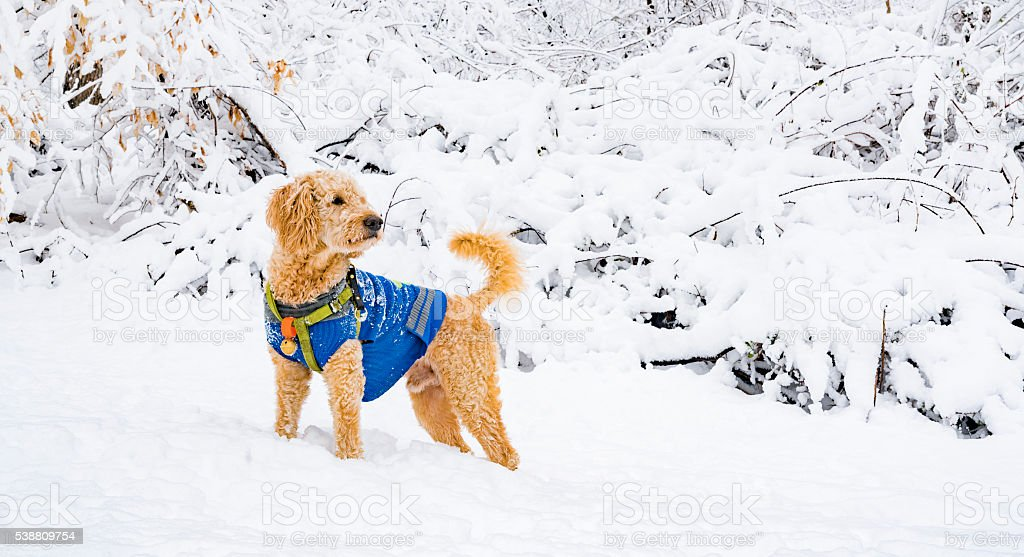 Dog play in the snow in the forest after snowfall stock photo