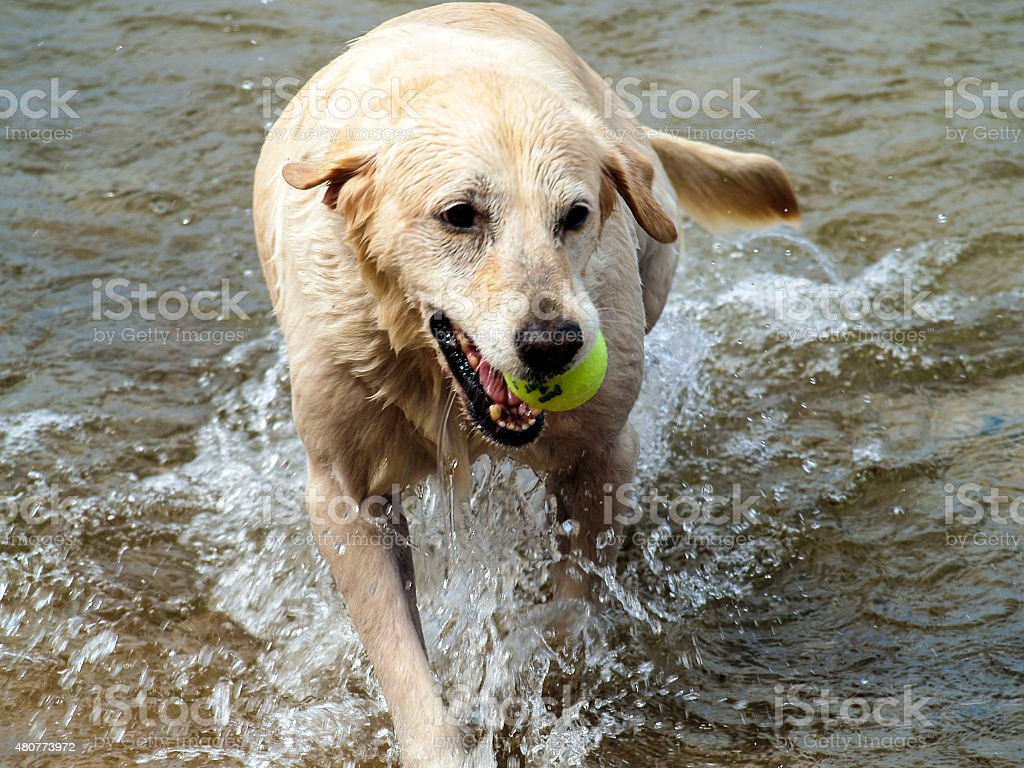 Dog playing fetch in Lake Superior stock photo