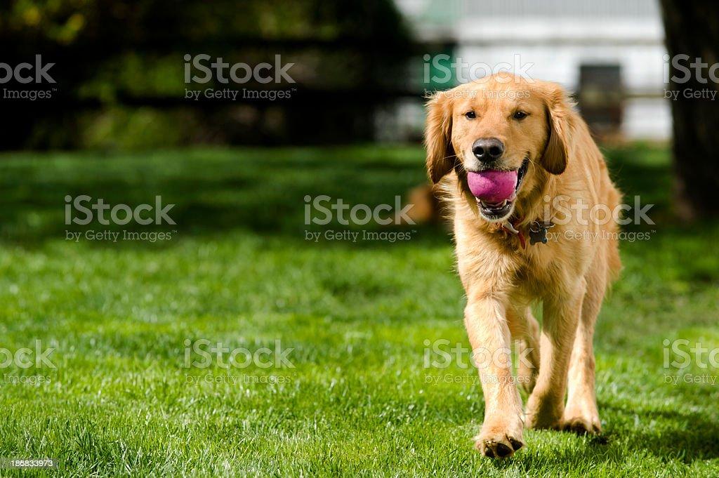 Dog playing Fetch in yard - Golden Retriever stock photo