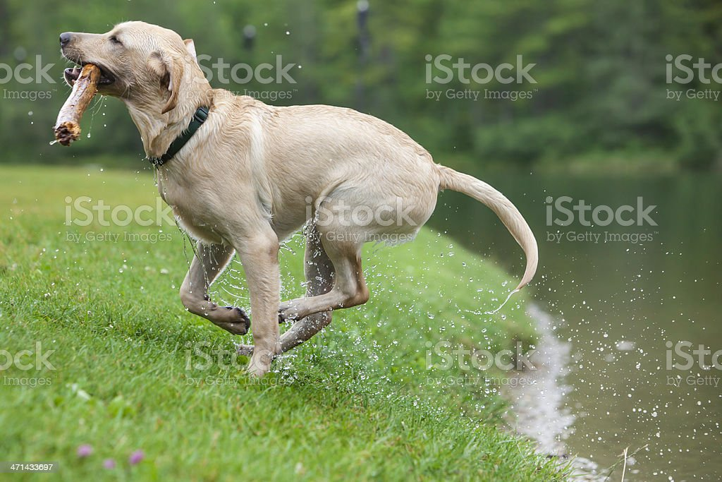 Dog playing fetch. royalty-free stock photo