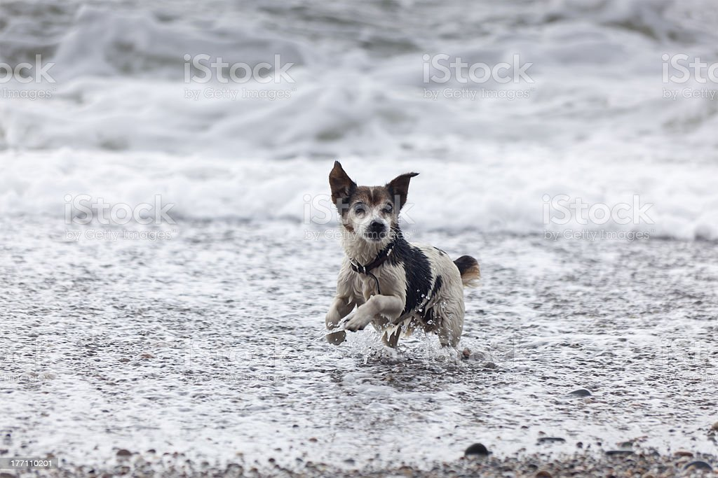 Dog playing in the sea royalty-free stock photo
