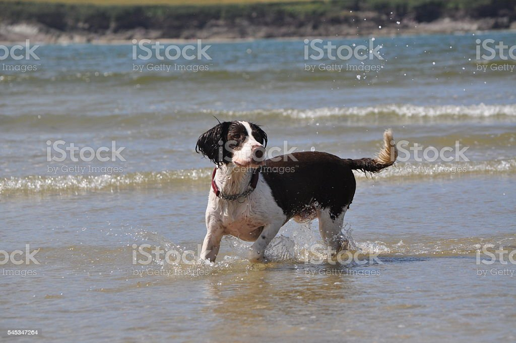 Dog playing in the sea stock photo